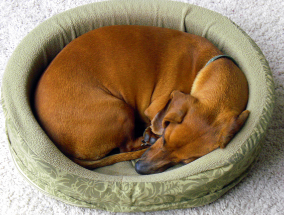 BED-curled-up-sleeping-dog-1349553